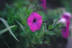 夏天开花-在被弄脏的背景的喇叭花 图库摄影