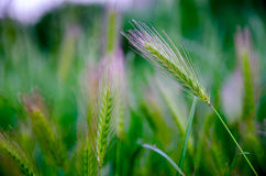 夏天弄脏了Stipa绿色羽毛席草在日落 免版税库存照片
