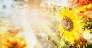 夏天或秋天自然背景用俏丽的向日葵 免版税库存图片