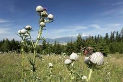从夏天斯洛伐克山低Tatras的蝴蝶 免版税库存图片