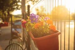 夏天日落照明设备的阳台庭院:美丽的五颜六色的喇叭花花 免版税库存图片