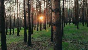 夏天日落的发光通过树自然秀丽新的起点晚年的天线关闭的太阳林木森林 股票录像