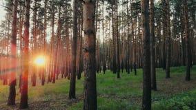 夏天日落的发光通过树自然秀丽新的起点晚年的天线关闭的太阳林木森林 影视素材