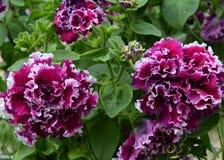 夏天春天樱草属杜鹃花玫瑰自然瓣紫罗兰色叶子植物群夏天树灌木花卉开花的绽放秀丽绿色blosso 图库摄影