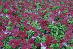夏天春天樱草属杜鹃花玫瑰自然瓣紫罗兰色叶子植物群夏天树灌木花卉开花的绽放秀丽绿色blosso 库存图片