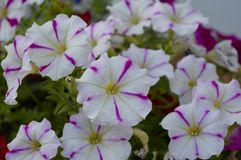 夏天春天樱草属杜鹃花玫瑰自然瓣紫罗兰色叶子植物群夏天树灌木花卉开花的绽放秀丽绿色blosso 库存照片