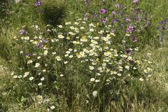 夏天春黄菊沼地 在自然的医疗草本 免版税库存图片