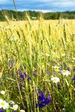 夏天晚上、农村麦子的领域、耳朵和新鲜的野花,不同的颜色 库存照片