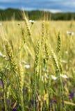 夏天晚上、农村麦子的领域、耳朵和新鲜的野花,不同的颜色 免版税库存照片