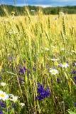 夏天晚上、农村麦子的领域、耳朵和新鲜的野花,不同的颜色 免版税库存图片