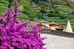 夏天桃红色九重葛在里奥马焦雷,五乡地开花 库存图片