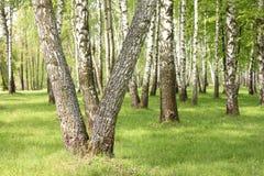 夏天桦树在森林,美丽的桦树树丛,桦树木头里 库存照片