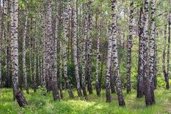 夏天桦树树丛 免版税库存图片