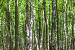 夏天桦树森林 免版税图库摄影