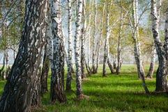 夏天桦树森林 库存图片
