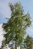 夏天桦树茂盛植物 秋天背景户外小山本质风景顶部结构树二 免版税库存照片