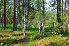 夏天森林太阳自然新鲜空气蓝莓蓝莓越橘丛生草树 免版税库存图片