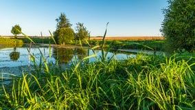 夏天横向 从海岸的看法通过芦苇向在一个农业领域中间的一个小沼泽的湖 图库摄影