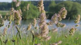 夏天横向 芽是在水中蓝色浩瀚的绿草摇动  花粉从与阵风的花飞行 股票视频