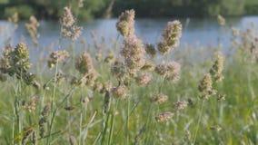 夏天横向 芽是在水中蓝色浩瀚的绿草摇动  影视素材
