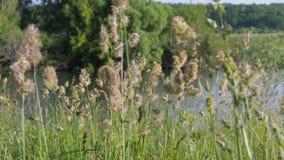 夏天横向 芽是在水中蓝色浩瀚的绿草摇动  股票录像