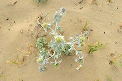 夏天海,刺芹属植物maritimum植物的顶视图 免版税库存图片
