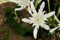夏天海, Pancratium maritimum的顶视图开花 库存照片