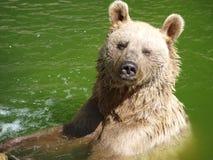 夏天熊浴 免版税库存图片