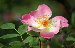 夏天玫瑰花瓣 免版税库存照片