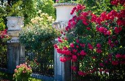 夏天玫瑰 库存照片