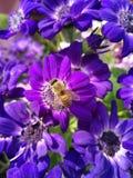 夏天瓜叶菊绽放和它的花蜜吸引蜂 免版税库存照片