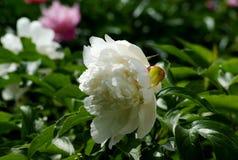 夏天的初期给我们麻烦观察开花牡丹 免版税库存照片