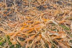 夏天的结尾,干玉米在收获以后 图库摄影