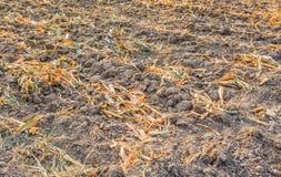 夏天的结尾,干玉米在收获以后 免版税图库摄影