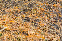 夏天的结尾,干玉米在收获以后 库存照片