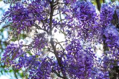 夏天紫罗兰色紫藤和太阳光发光 库存照片