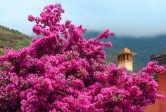 夏天紫色九重葛在里奥马焦雷,五乡地开花 图库摄影