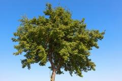 夏天结构树 图库摄影
