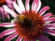 夏天美丽的花和土蜂 库存照片