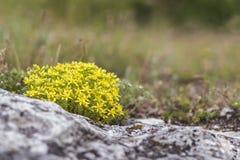 夏天背景五颜六色的黄色景天属 免版税库存照片