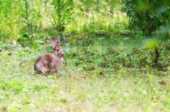 夏天背景用一只兔子在自然环境里 库存图片