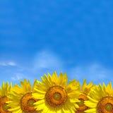 夏天背景,在蓝天的明亮的黄色向日葵 免版税库存图片