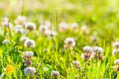 夏天背景:日落光点燃的白三叶草领域 复制 免版税库存照片