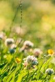 夏天背景:日落光点燃的白三叶草领域 复制 库存照片