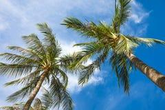 夏天自然场面与蓝天的可可椰子树 免版税图库摄影