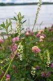 夏天自然平静的和谐  危害开花的桃红色三叶草和白花根木樨的Ð ¡在狂放的湖边草甸 库存照片