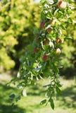 夏天苹果树 免版税图库摄影
