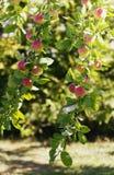 夏天苹果树 免版税库存图片