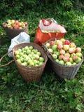 夏天苹果 库存图片