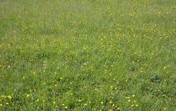 夏天草地早熟禾和野花 免版税库存照片